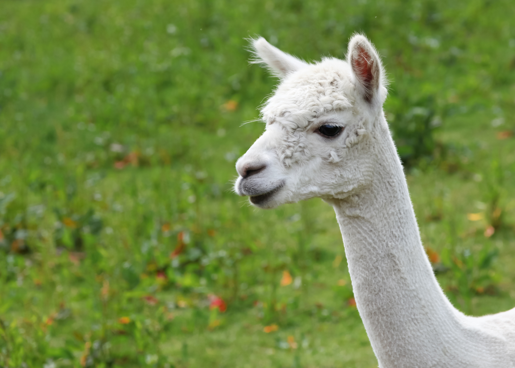 7 Quick Takes Friday (vol. 40): some music, a tweet, and, um…llamas. well, sort of.